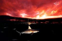 Shark Sunset Bully Shark swimming at Sunset Professional Photos by @JuanSharks Juan Oliphant