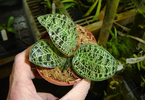 Macodes petola jewel orchid, mottled sea green leaves, gold veins