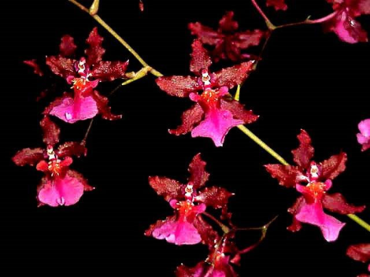 Sharry Baby 'Red Fantasy' Chocolate Orchid - large seedling
