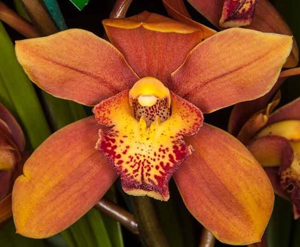 Cymbidium Fire on the Mountain orchid large seedling