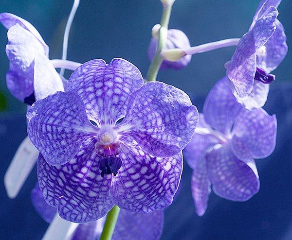 Vanda Pak Chong Blue blooming size in hanging basket