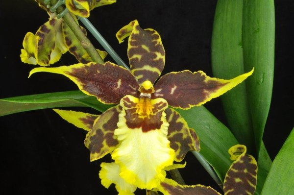 Starter kit - 3 different oncidium orchid seedlings, 1 low price
