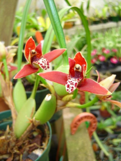 Blooming size Maxillaria tenuifolia Coconut Orchid, fragrant flowers