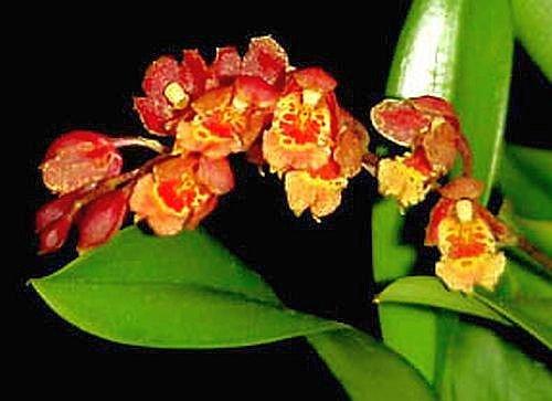Easy to grow Howeara Lava Burst orchid seedling