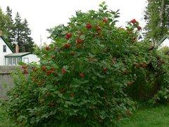 "Highbush Cranberry (12-18"") (x25)"