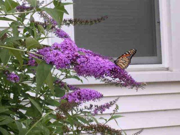 Butterfly Bush (Bluish/Purple) (x10)