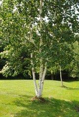 White Birch (2-3')