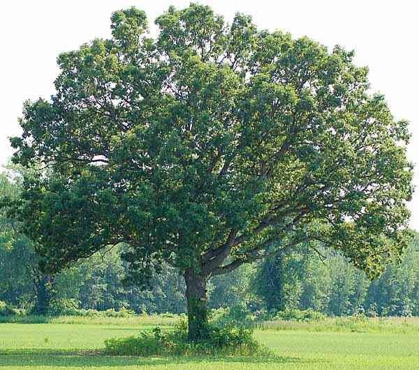 Red Oak (3-4')