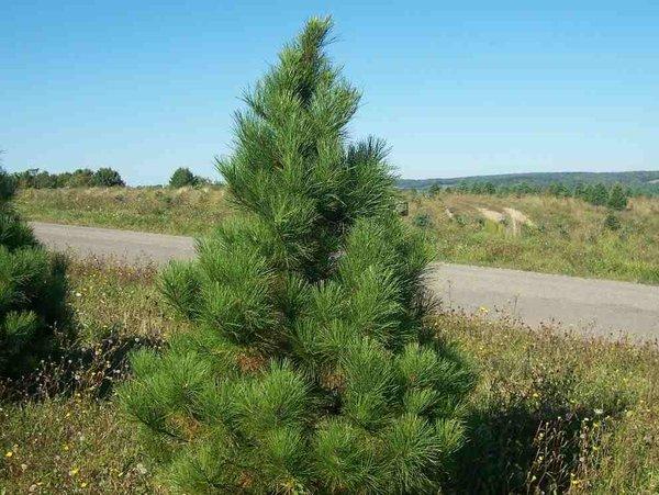 Red Pine Seedlings (x500)