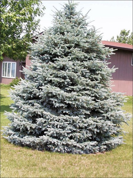 Blue Spruce Transplant (2'+)