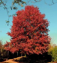 Red Maple (3-4')