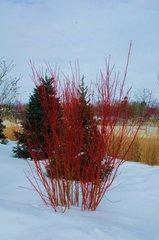 "Redosier Dogwood (12-24"") (x25)"