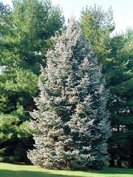 White Spruce Seedlings (x100)