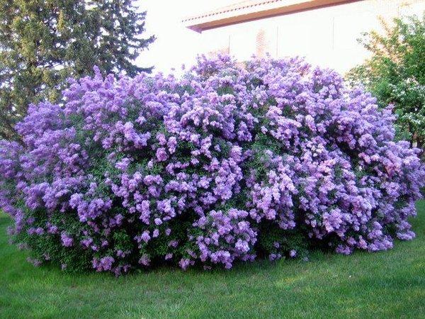 "Lilac Bush (10-18"") (x5)"