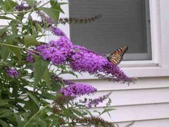 Butterfly Bush (Bluish/Purple) (x5)
