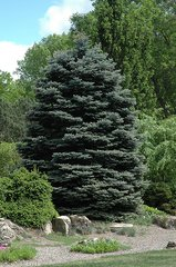 Blue Spruce Seedling (x500)