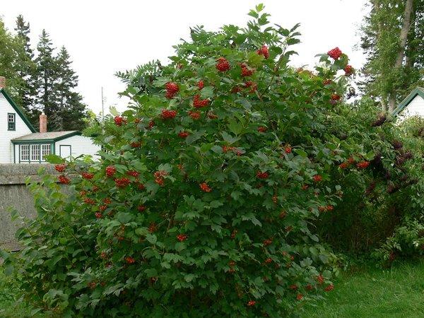 "Highbush Cranberry (12-18"") (x10)"