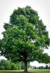 White Oak (1-2')