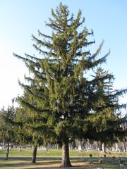 Norway Spruce Seedling (x500)