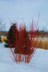 "Redosier Dogwood (12-24"") (x10)"