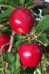 Gale Gala Apple