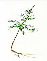 Leaning Pine Notecards (set of 8)