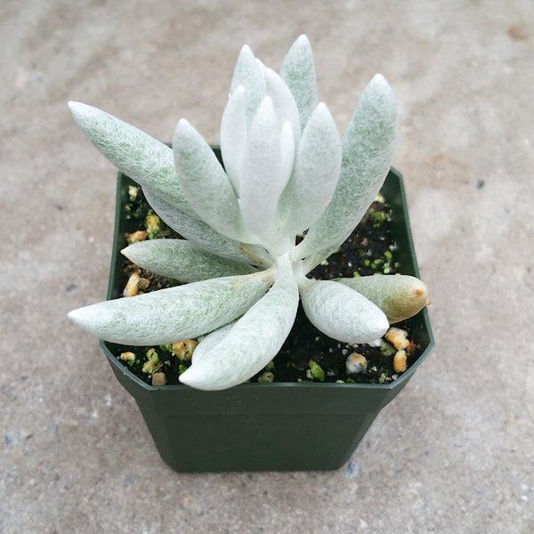 "Senecio Haworthii ""Cocoon Plant"""