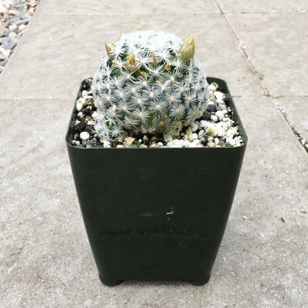 Cactus - unknown - 01