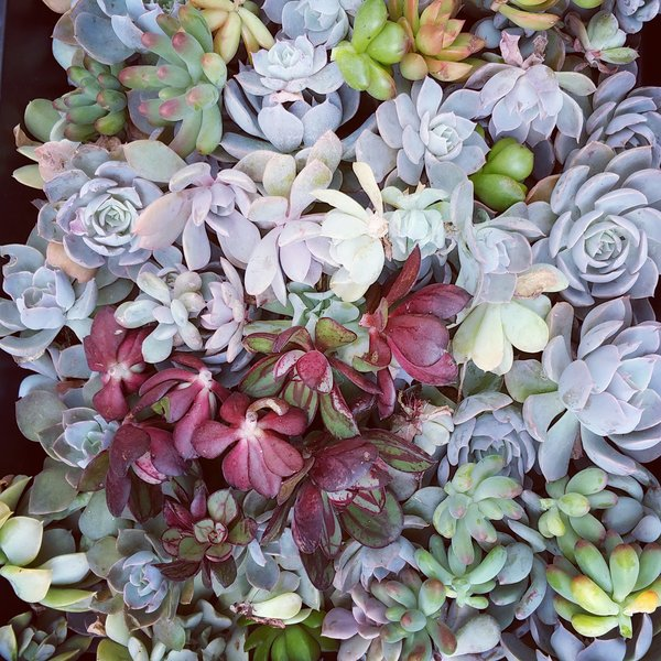 Assorted Succulent Cuttings