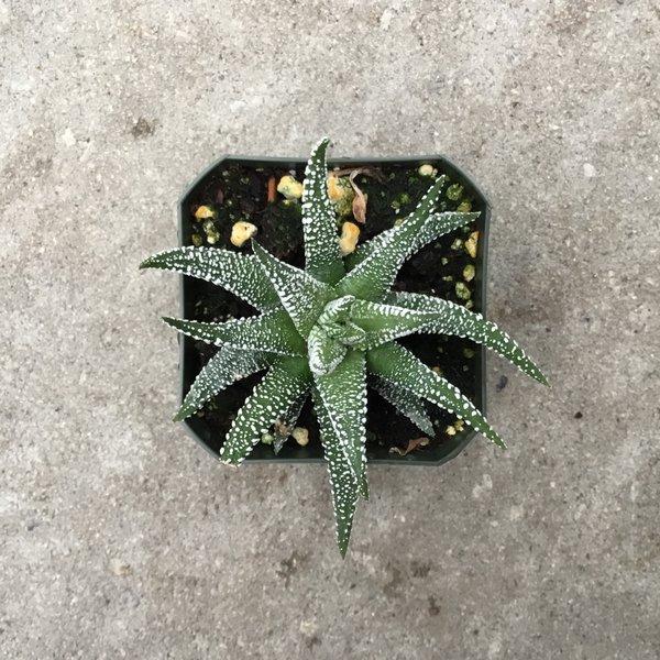 Haworthia Glabrata 'Concolor'