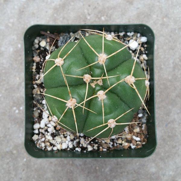 Cactus - Gymnocalycium Horstii