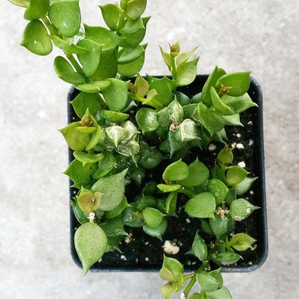 Dischidia Ruscifolia - Million Hearts