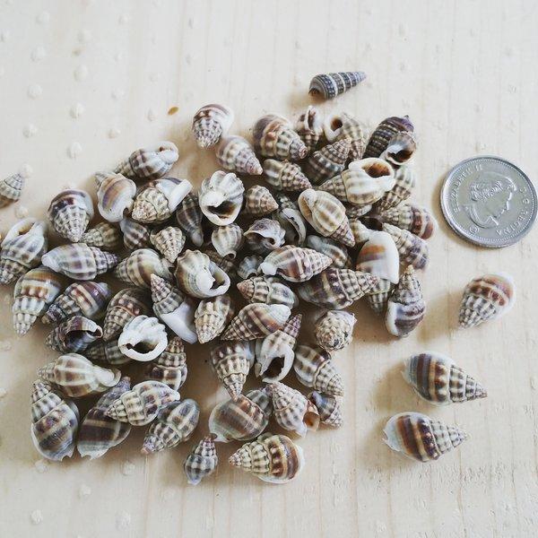BF - Kaka Muthu Shells