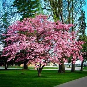 cornus florida rubra pink dogwood tree plugs r us. Black Bedroom Furniture Sets. Home Design Ideas