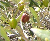 Extra Virgin Olive Oil - Chilean Arbequina