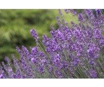 Balsamic Vinegar - Lavender