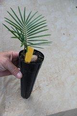 """Cycas Revoluta (Sago) 2.5""""x12"""" Liner"""
