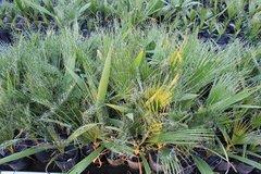 Washingtonia Filifera (100% Pure California Fan Palm) 4x14