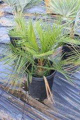 15 Gallon Jubaea Chilensis