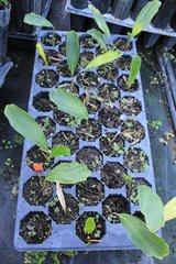 Arenga Engleri Two Leaf Seedling
