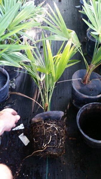 Windmill Palm (Trachycarpus Fortunei) 1G