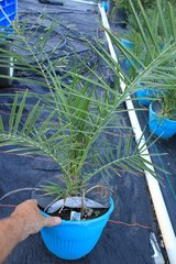 Phoenix Canariensis ( Canary Island Date Palm) 3G pot