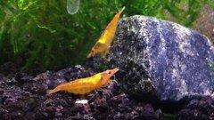 Select Orange Freshwater Neocaridina Shrimp