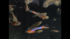 2 Pair of Starburst (Bluestar) Endlers w/ Fry