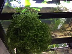 Guppy Grass (Naja Grass) Large Portion