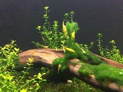 Yellow Freshwater Neocaridina Shrimp
