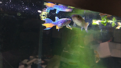 Blue Gularis Killifish Pair (Hard to Find!)