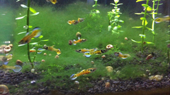 Pair of Super Rare Rainbow Tiger Endlers w/ Fry
