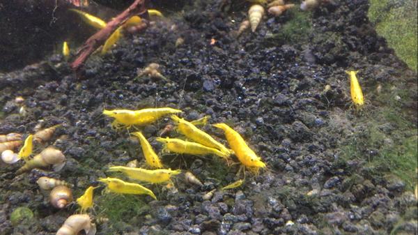 shrimp neocaridina freshwater yellow golden aquarium nebula