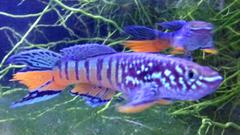 Male Blue Gularis Killifish (Hard to Find!)
